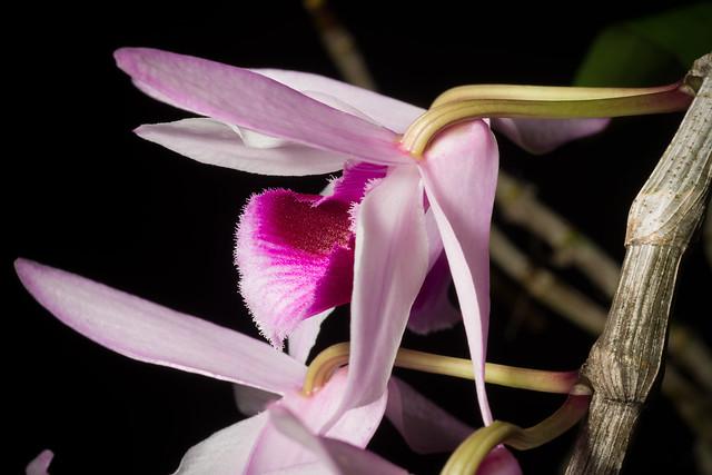 [Laos] Dendrobium anosmum Lindl., Edwards's Bot. Reg. 31(Misc.): 32 (1845)