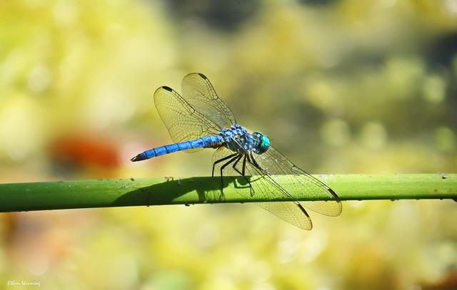 Blue Dasher 2146