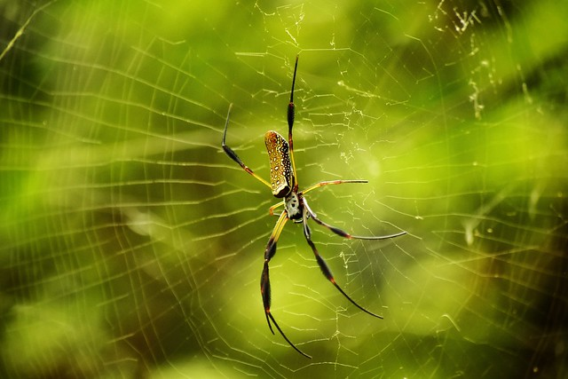 """Golden Silk Orb-weaver ('Nephila')"" - (Note: Also known as a Banana Spider)"