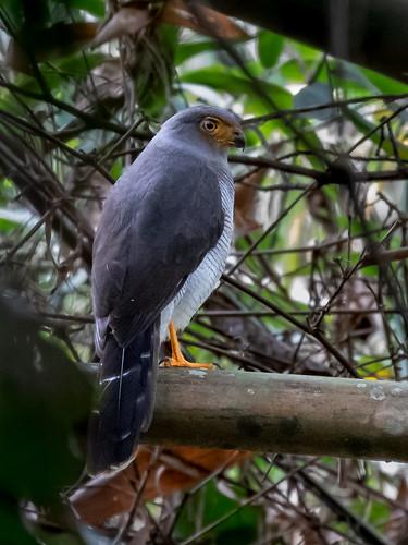 Cryptic Forest Falcon/Falcão-críptico/Halcón montés críptico (Micrastur mintoni)