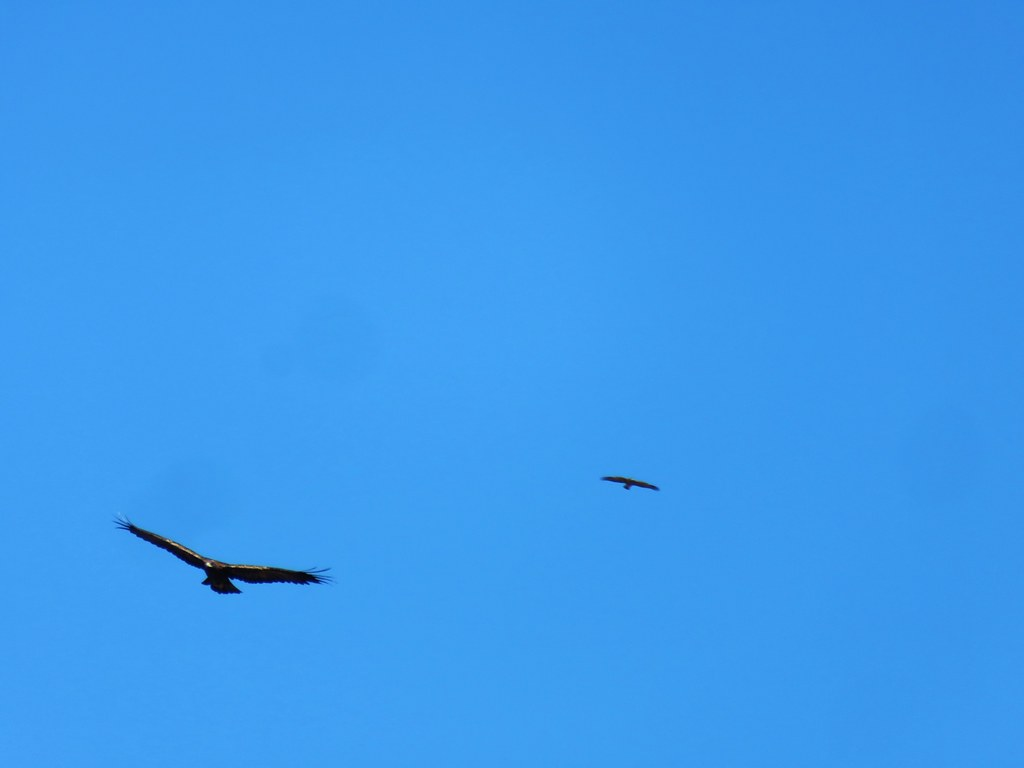 Golden eagle being chased by a smaller raptor