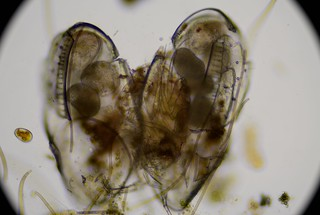 ostracod-with-maturing-eggs-ats-sample-8132019 (41) | by jason2459
