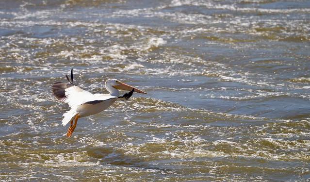 American White Pelican -Explore #287 8-14-2019 - (Pelecanus erythrorhynchos) - Lock and Dam 14 - Hampton IL
