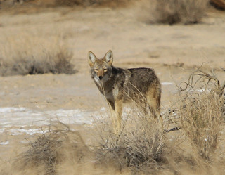 Curious George The Coyote At Death Valley National Park 2019