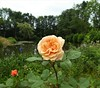 I found a rose by the pond the other day. A rose that I haven't noticed before. How can that be possible. I don't know, but I liked a lot what I saw that day.