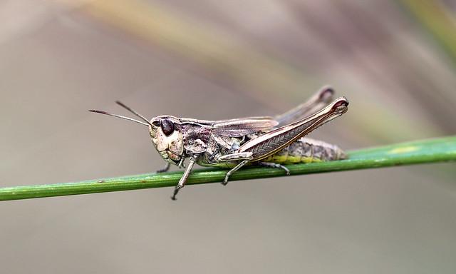 Meadow Grasshopper! [Explored!]