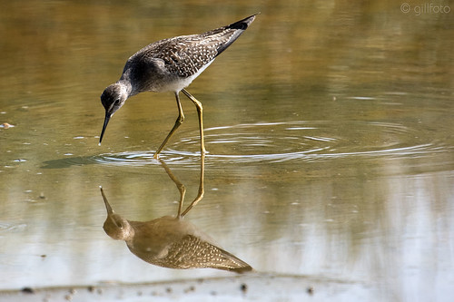 Lesser Yellowlegs on the Mendenhall Wetlands