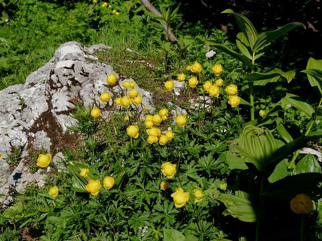 Trollblumen / Globeflowers