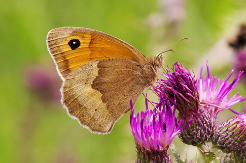 cambridgeshire maniolajurtina woodwaltonfen butterfly insect meadowbrown nature wild wildlife