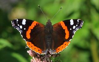 Red Admiral 280719 (3)