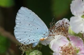 Holly Blue - Celastrina argiolus 130819 (3)