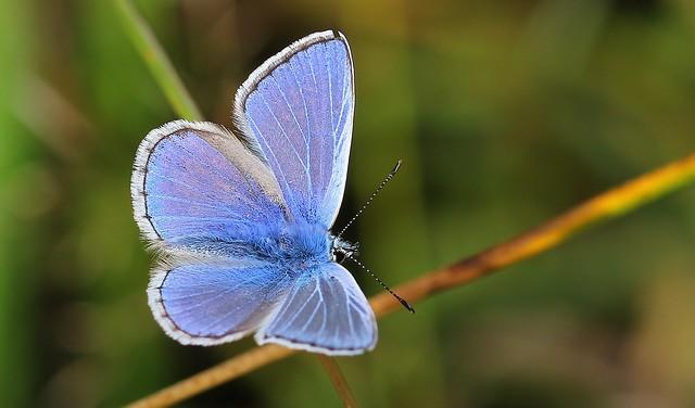 Common Blue - Polyommatus icarus  130819 (3)