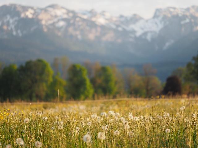 Meadow Field Grassland Pasture Alps Dandelions Bavaria Germany © Feld Wiese Bayern Alpen Pusteblumen Oberbayern