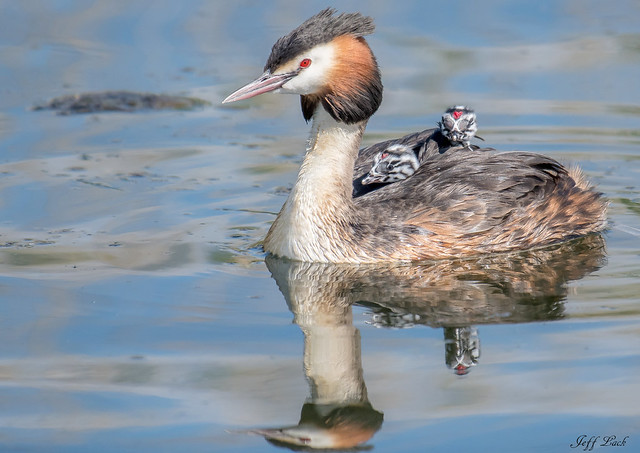 DSC6345  Great Crested Grebes...