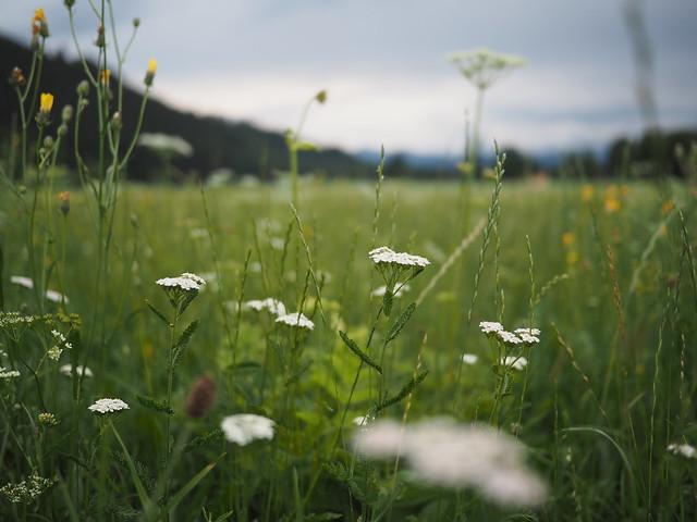 Bärenklau, Acanthus, Flower, Blume, Plant, Pflanze, Cow parsnip, Parsnip, Hogweed ©