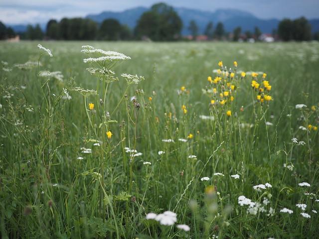 Meadow Field Grassland Pasture Wild Flowers Bavaria Germany © Feld Wiese Bayern Wildblumen Oberbayern ©