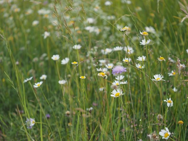 Meadow Field Grassland Pasture Wild Flowers Ox-Eyed Daisy Germany © Margerite Feld Wiese Bayern Wildblumen Oberbayern ©