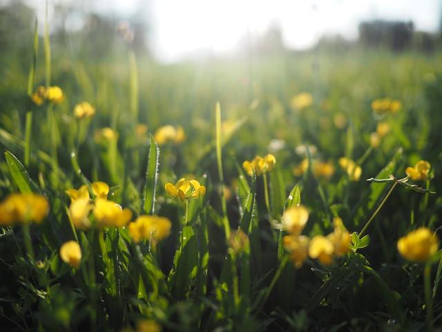 Butterblume Wildblume Sommer Bayern © Buttercup Wild Flower Ranunculus ©