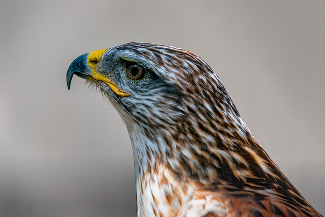 Ferruginous Hawk - Northern Ontario