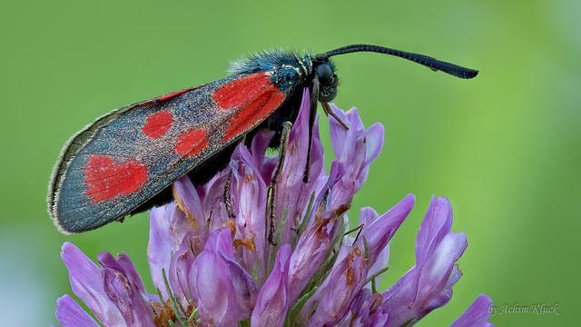 Beilfleck-Rotwidderchen oder Beilfleck-Blutströpfchen (Zygaena loti)