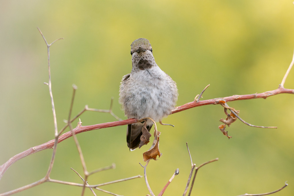A female Anna's hummingbird looks at me while perching on a bougainvillea branch in front of pale verde trees in our backyard in Scottsdale, Arizona in May 2019