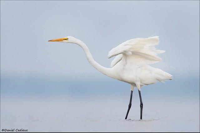 Great Egret Stretch.