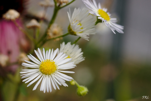 Baconnes - Fleurs du jardin
