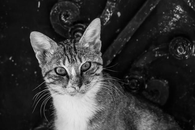 Symi cat