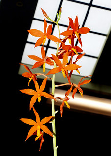 2019 orchids in the park, sfos show & sale, Encyclia orchid 7-19