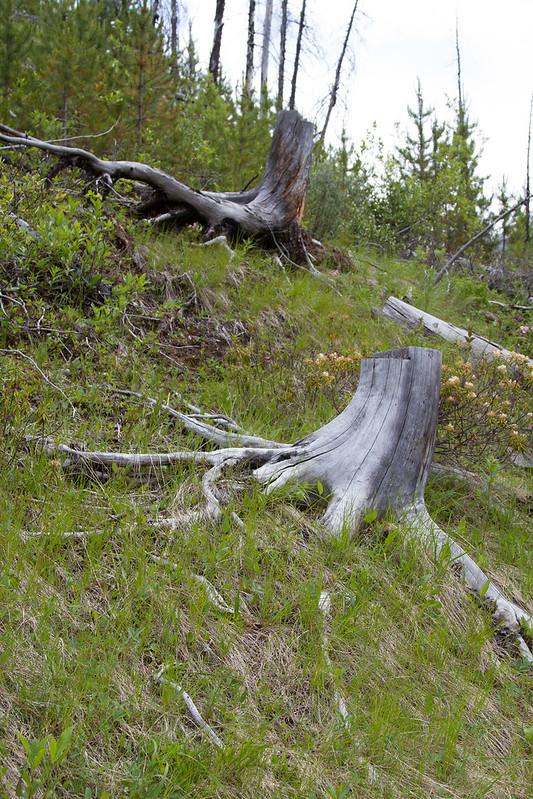 Árboles cortados en Marble Canyon (Rocosas - Columbia Británica - Canadá)