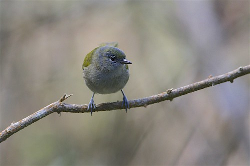 Green-tailed Warbler (Microligea palustris), Sierra de Bahoruco, Dominican Republic