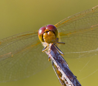 Common Darter - Sympetrum striolatum.