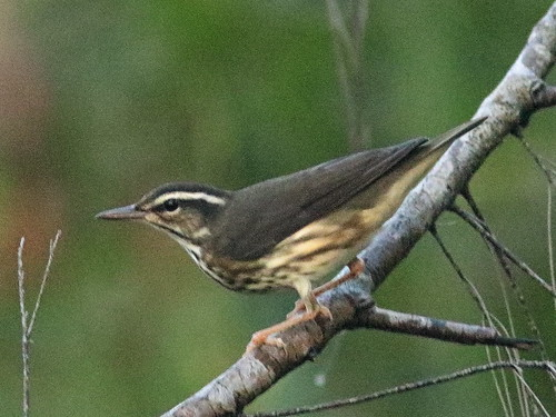 Louisiana Waterthrush 06-20190814