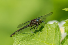 Dragon Fly on Isle Royale National Park