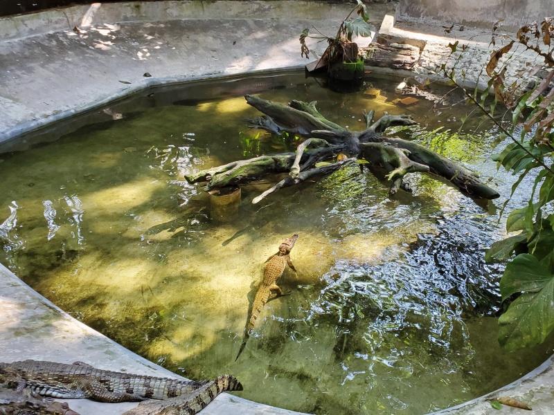 CREA Iquitos caiman