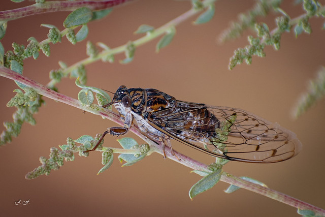 Chicharra - Cicadidae