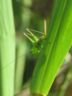 long ovipositor