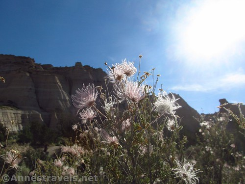 Desert wildflowers along the Cave Loop in Kasha-Katuwe National Monument, New Mexico