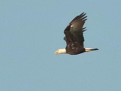 Bald Eagle 20190808