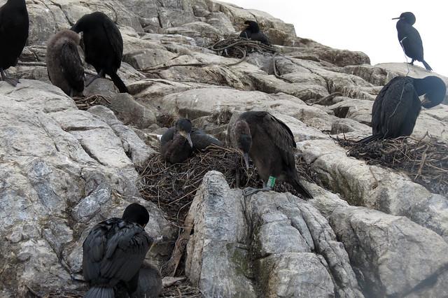 Cormorants, Staple Island