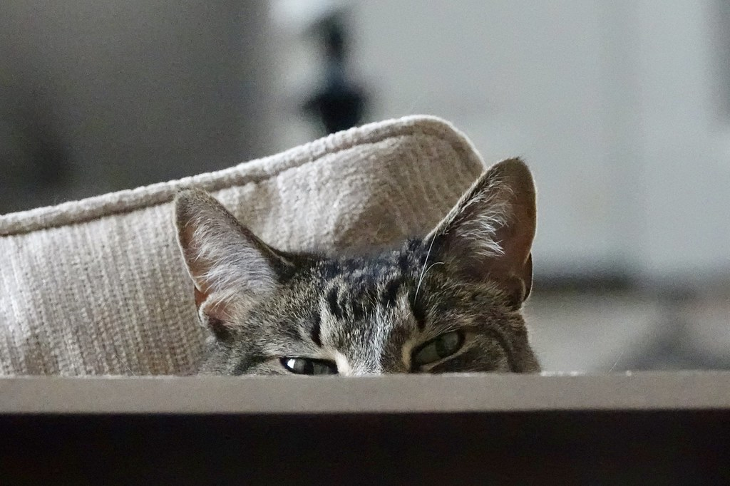 Surveillance cat.