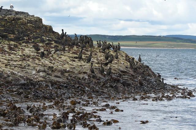 Grey seals on the Farne Islands
