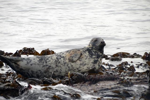 Grey seals at the Farne Islands
