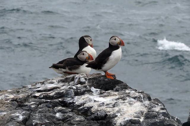 Puffins on Staple Island