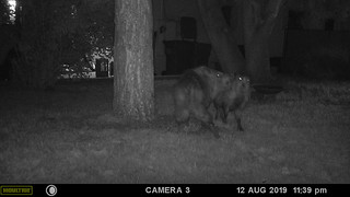 javelina_mating-20190812-101 | by Dagny Gromer