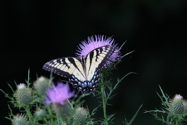 Eastern Tiger Swallowtail & Thistle IMG_9196