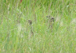 Gray Partridge  (3 of 8 young!)