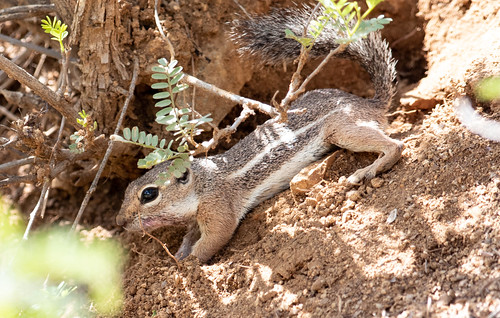 Harris's Ground Squirrel