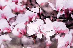 Pink Magnolia in Watercolor