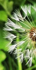 Dandelion Seed Heads - Lamesley